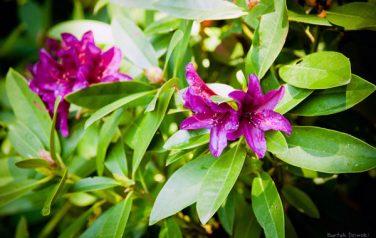 Nasze rododendrony