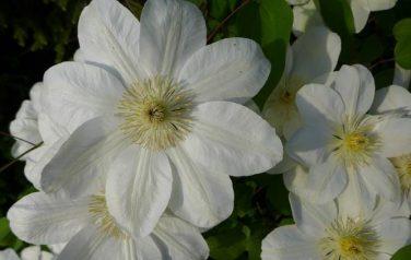 Biel ogrodowa