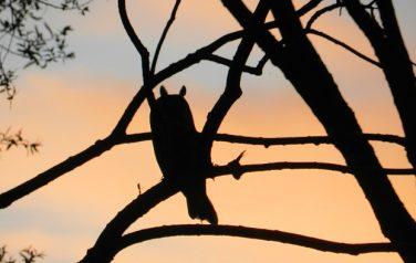 Asio otus – gatunek ptaka drapieżnego zrodziny Strigidae